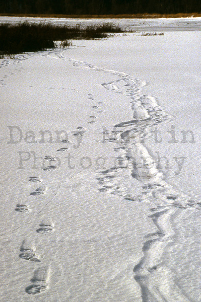 River otter tracks next to my tracks in snow.  <br /> Whitewater State Wildlife Area, Wabasha County, Minnesota. <br /> *slide scan.