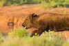 Bison calf frolicking<br /> Briscoe County, Texas