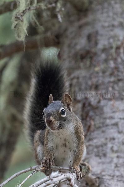 American Red Squirrel (Chickaree, or Pine Squirrel)<br /> Larimer County, Colorado