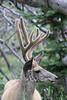 Mule Deer buck in velvet<br /> Wyoming