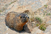 yellow-bellied marmot.  Rocky Mountain National Park, CO.