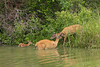 White-tailed Deer, doe & fawn swimming<br /> Sedgwick County, Kansas