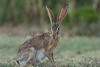Black-tailed Jackrabbit<br /> Briscoe County, Texas