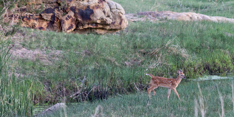 White-tailed Deer (fawn)<br /> Carizzo Creek, Colorado.