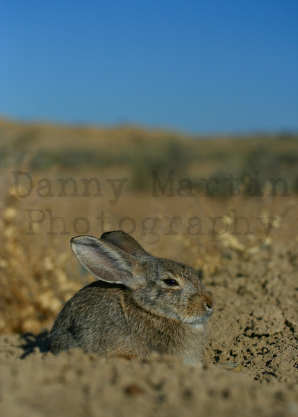 Cottontail<br /> Moffat County, Colorado
