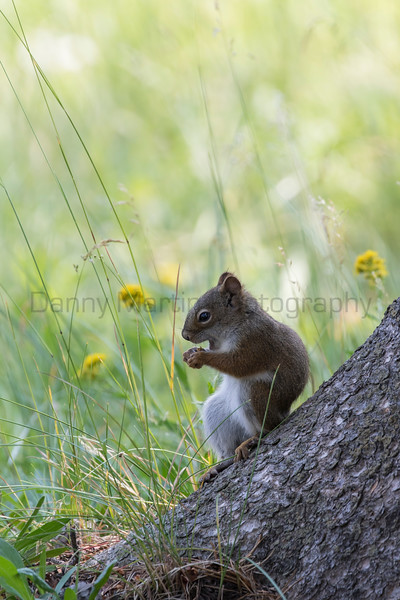 American Red Squirrel (Pine Squirrel, or Chickaree) feeding<br /> Wyoming