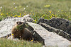 Yellow-bellied Marmot (feeding)<br /> Rocky Mountain National Park, Colorado