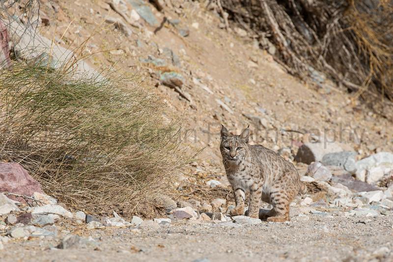 Bobcat<br /> Pima County, Arizona