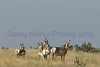 Pronghorn does and fawns<br /> Las Animas County, Colorado