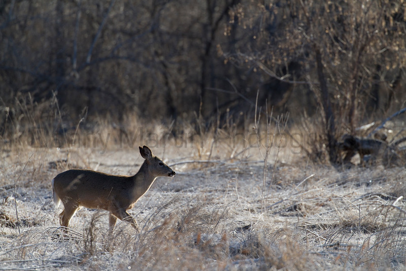 White-tailed Deer doe<br /> Larimer County, Colorado