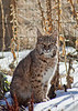 Bobcat in Estes Park, Colorado.