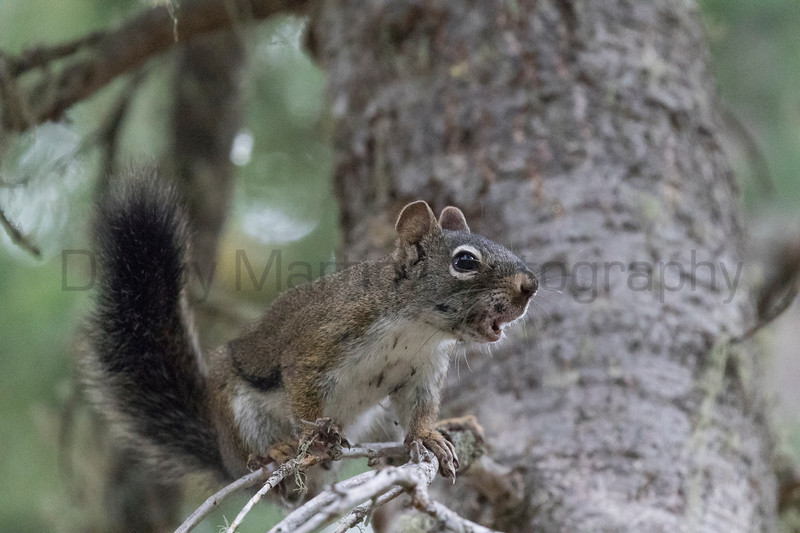 American Red Squirrel (Chickaree, or Pine Squirrel)<br /> Larimer County, Colorado