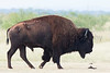 American Bison (bull, bellowing)<br /> Briscoe County, Texas