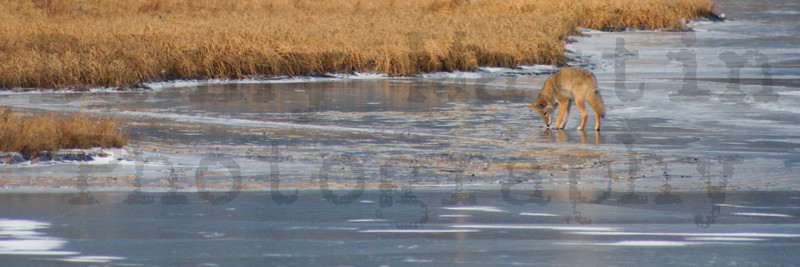Coyote on frozen pond.  Estes Park, Colorado.