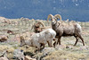 Rocky Mountain Bighorn rams<br /> Rocky Mountain National Park, Colorado.