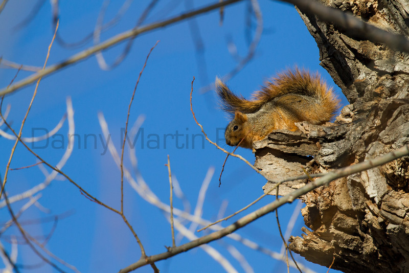 Fox Squirrel<br /> Larimer County, Colorado
