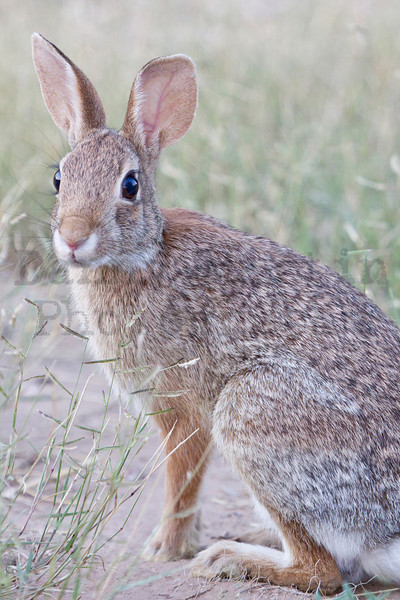 Cottontail<br /> Muleshoe National Wildlife Refuge, Texas.