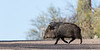 Javelina (Collared Peccary)<br /> Pima County, Arizona