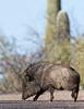 Javelina (Collared Peccary)<br /> Pima County, Arizona