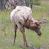 Elk bull<br /> Rocky Mountain National Park, Colorado.