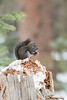 Red Squirrel (Chickaree) feeding<br /> Summit County, Colorado