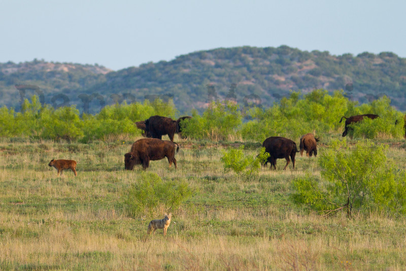 Coyote & Bison<br /> Caprock Canyon State Park ,Briscoe County, Texas.