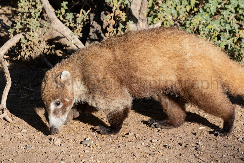 White-nosed Coati<br /> Pima County, Arizona