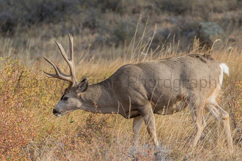 Mule Deer buck<br /> Larimer County, Colorado