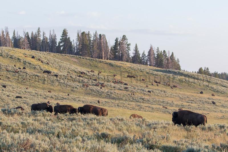 American Bison herd in sagebrush<br /> Park County, Wyoming