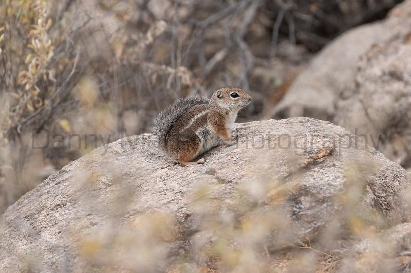 Harris's Antelope Squirrel<br /> Pima County, Arizona