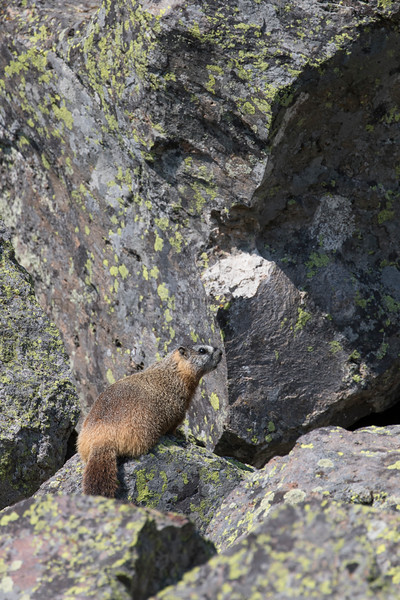Yellow-bellied Marmot<br /> Teton County, Wyoming