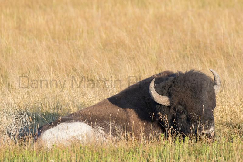 Bison bull<br /> Wyoming
