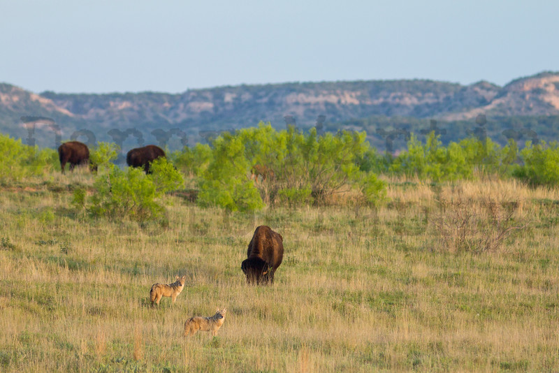 Coyotes & Bison<br /> Caprock Canyon State Park ,Briscoe County, Texas.