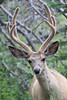 Mule Deer buck in velvet<br /> Wyoming