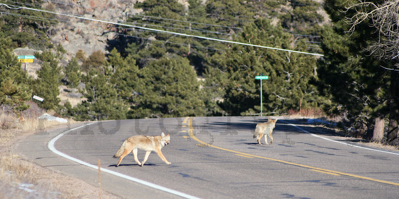 Why did the coyotes cross the road?