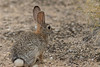 Desert Cottontail<br /> Pima County, Arizona