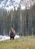 Moose<br /> Cameron Pass, Colorado.