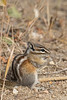 Least Chipmunk foraging<br /> Larimer County, Colorado