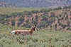Pronghorn buck<br /> Moffat County, Colorado