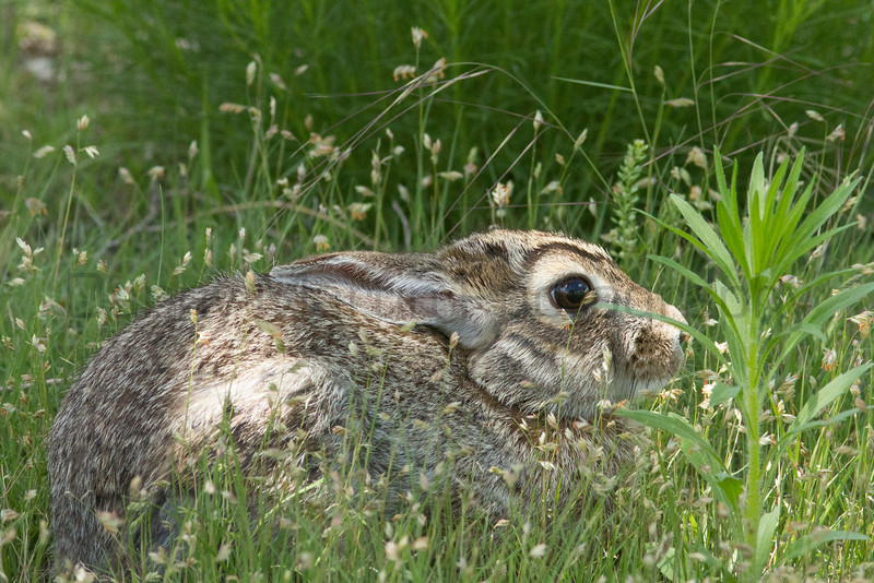 Eastern Cottontail (hiding)<br /> Bailey County, Texas