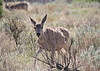 Mule Deer doe<br /> Great Sand Dunes National Park, Colorado.