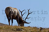 Elk bull.  <br /> Rocky Mountain National Park, Colorado.