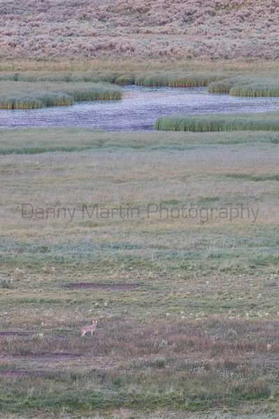 A subadult coyote forages for an easy meal along the edges of a wetland.<br /> Park County, Wyoming