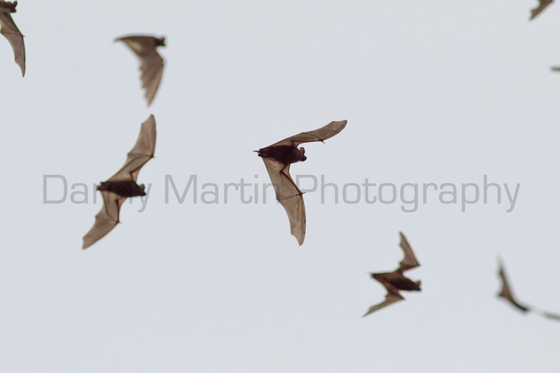 Mexican Free-tailed Bats in flight<br /> Travis County, Texas