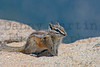 chipmunk.  Rocky Mountain National Park, CO.