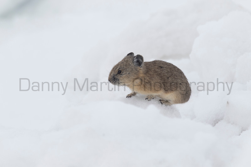 American Pika<br /> Clear Creek County, Colorado