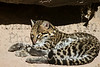 Ocelot *(Captive)<br /> Tucson, Arizona