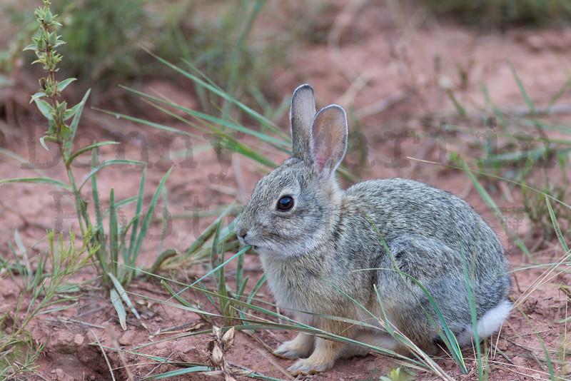 Cottontail<br /> Red Mountain Open Space, Larimer County, Colorado.