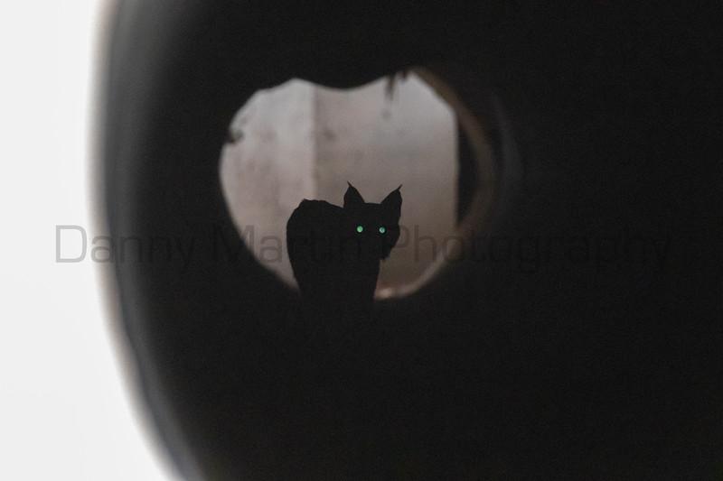 Bobcat in a culvert<br /> Pima County, Arizona
