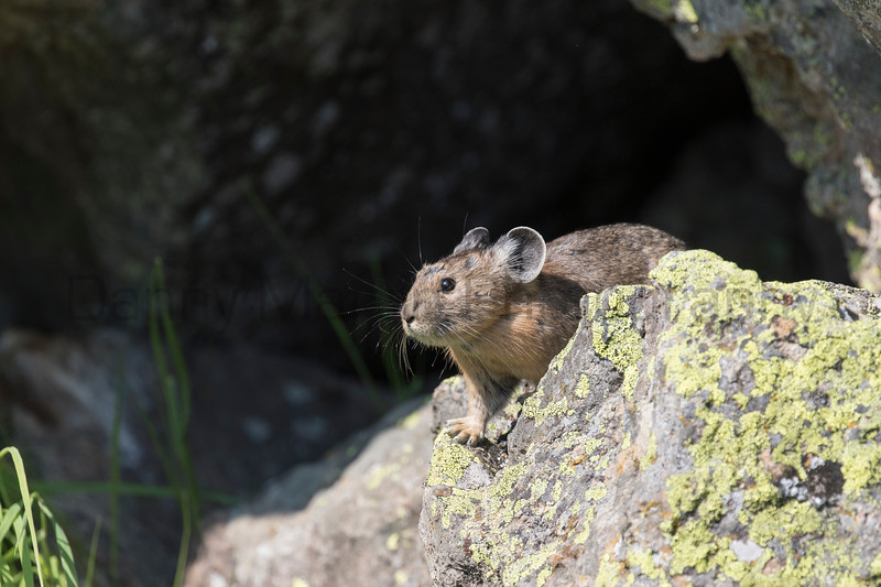 American Pika<br /> Wyoming